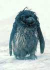 Пингвиненок символ Антарктиды! www.clubalp.ru
