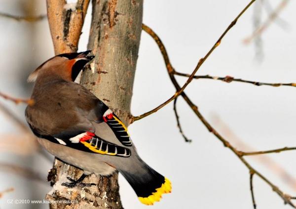 Свиристель элегантная птица грацией