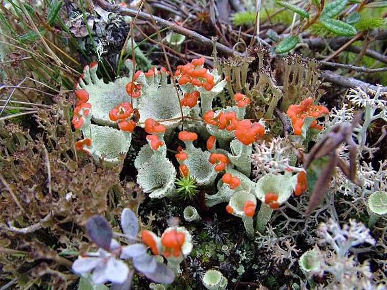 Фото цветы лишайника